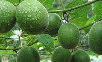 8 Health Benefits of Monk Fruit